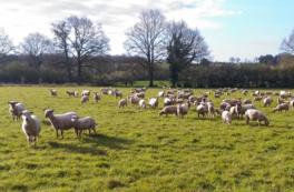 Champ de moutons de la Ferme Ty mad bio - Freigné