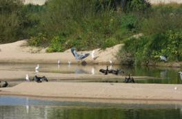 Observation des oiseaux d'une île de Loire